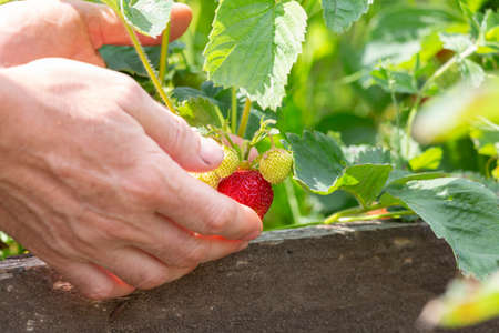 Red strawberry berry in the garden at the time of collection Zdjęcie Seryjne
