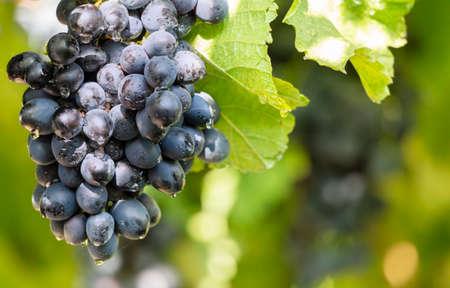 Black grapes on a vine close up