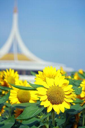 ix: Sunflowers in a field at Suan Luang RAMA IX Park