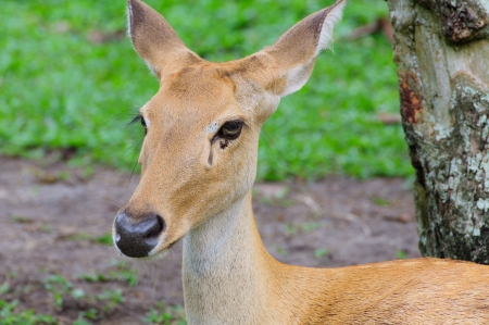 springbuck: A Antelope it is not horn