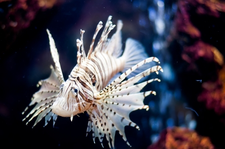 A Lion fish in the fish museum photo