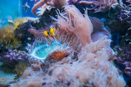 percula: beautiful coral in aquarium and reef Stock Photo