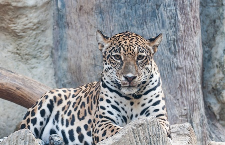 Portrait leopard predator in the zoo of Thailand photo