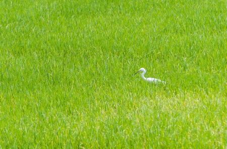 The Egret in green Cornfield, of Thailand photo