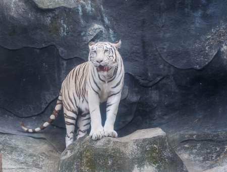 white tigers: White Tiger Animals awesome of Thai land Stock Photo