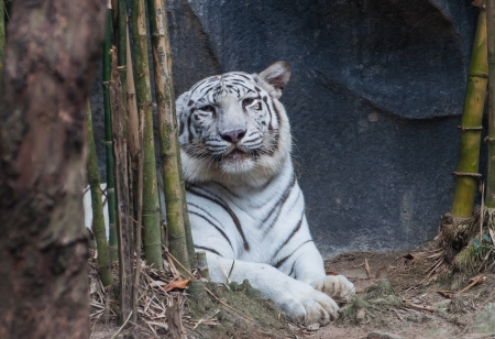 White Tiger Animals awesome of Thai land photo