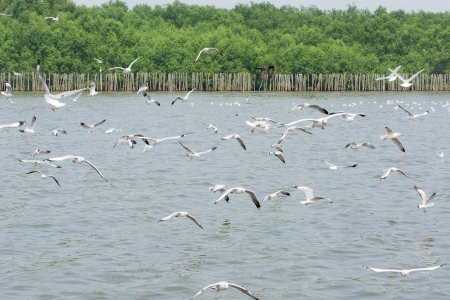 disseminate: Flocks of Seagull in flight on water, at Bangpoo of Thailand