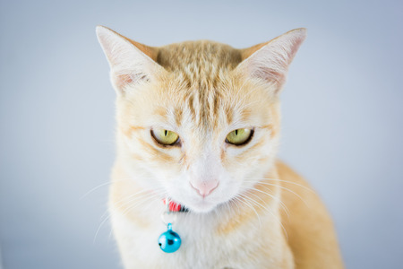 Ginger orange cat have collar and bell portrait studio on white background photo