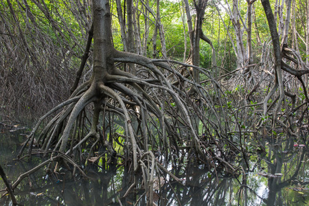 unwanted flora: The fruits forest mangrove at Lamchabang of Thailand Stock Photo