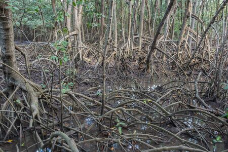 rosy cheeked: The fruits forest mangrove at Lamchabang of Thailand Stock Photo