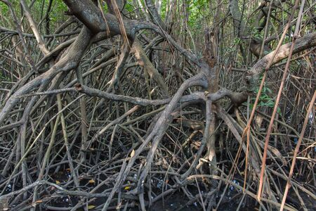 furnish: The fruits forest mangrove at Lamchabang of Thailand Stock Photo