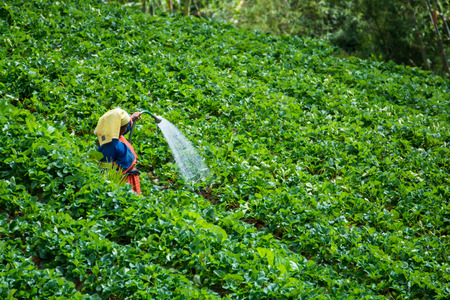 agriculturalist: Farmers watering in the garden strawberry at Doi Ang Khang, Chiang Mai of Thailand. Stock Photo