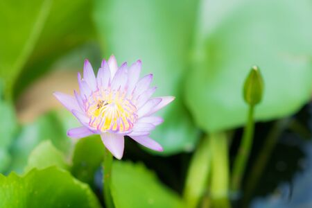 close up of purple lotus, bee and green leaves