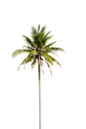 Coconut palm tree, Coco green leaves isolated on over white background Standard-Bild