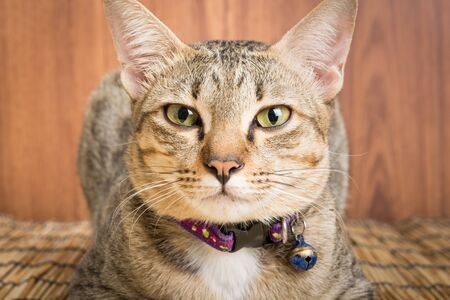 breed: Asia cat breed on a wooden background Stock Photo