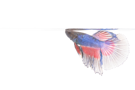 fire fin fighting: Betta fish, siamese fighting fish isolated on white background