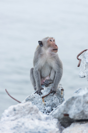 Monkey sitting on the rock watching sea of Thailand Stock Photo