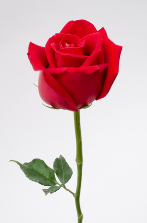 single object: red rose Stock Photo