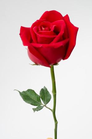 red rose Foto de archivo