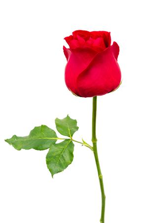 één rode roos geïsoleerd op witte achtergrond