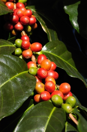 coffee harvest: Coffee beans on plant