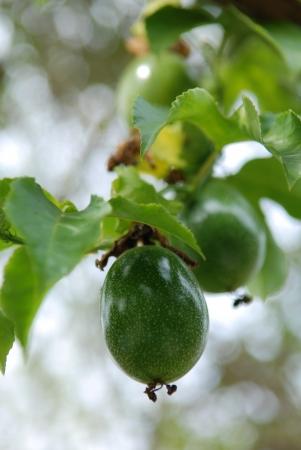 grenadilla: Fresh passion fruit in the garden
