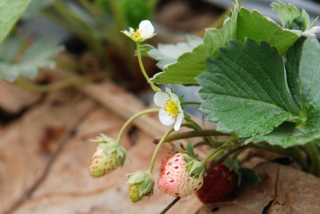 Strawberry flower  and strawberry fruit   with leaves