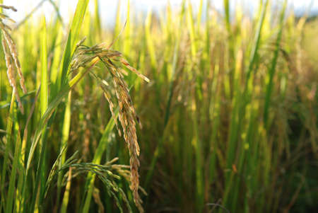Golden rice in Paddy Rice Fields Stock Photo - 14973019