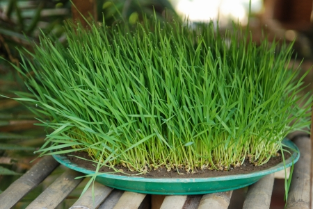 Wheatgrass plant with dew drops Stock Photo