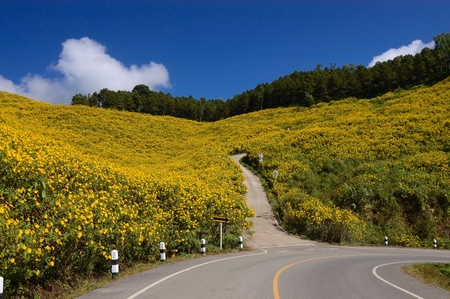 Wild Mexican Sunflowers ,Maxican daisy field of wild sunflowers  bua thong   bloom in November on the Mountain photo