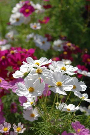 White Cosmos Flowers against blurred colorful cosmos background