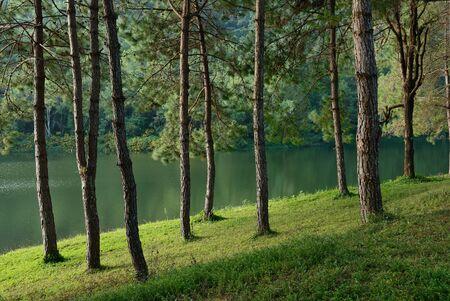 Pine Tree Forest at Pang Ung lake,Mae Hong Son,northern Thailand