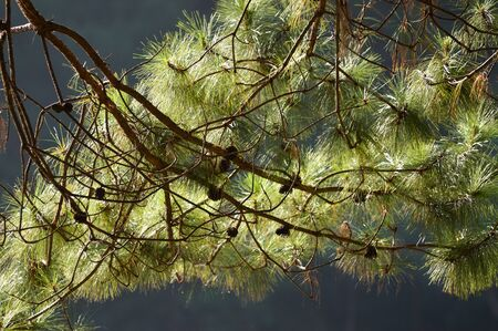 pine branch with needles and pine cone