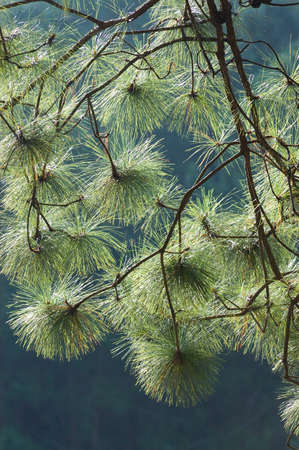 Pine Tree Branch in morning time Stock Photo - 15686158