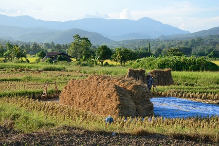Harvesting Rice  in rural, Thailand Stock Photo