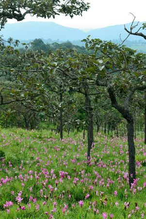 Siam tulip , wildflower field in Thailand