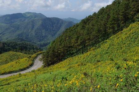 A Winding Road,Wild Mexican Sunflowers ,Maxican daisy field of wild sunflowers and Pine Tree on the Mountain Stock Photo