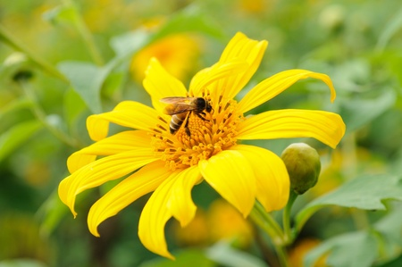 a honey bee on a Mexican sunflower