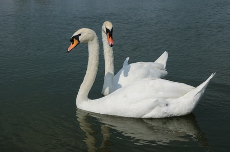 two swans on lake