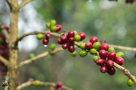 Ripe  red  and unripe  green  Coffee beans on the branch in coffee plantation