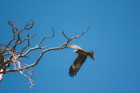 wingtips: Eagle soaring and looking down with a blue sky background Stock Photo