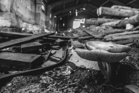 lumber mill: Black and white - mashrooms at abandoned lumber mill, close up Stock Photo