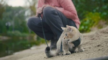 British Shorthair Tabby cat in collar walking on sand outdoor - plays with sprig, camping Stock Photo