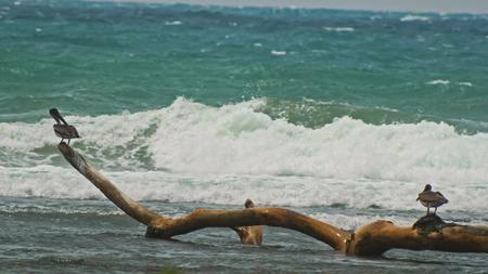 Pelicans seats at caribbean sea. Dominican Republick., Juan Dolio