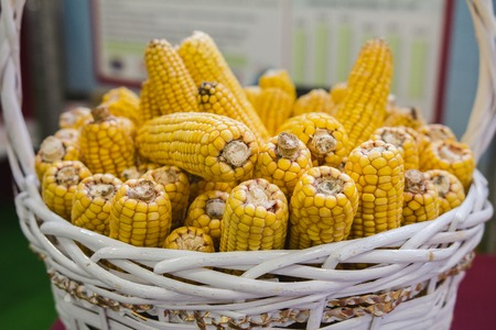 Genetically modified corn in basket at agricultural exhibition Stock Photo