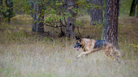 Pets concept - german shepherd dog running in the autumn forest