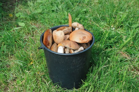 A bucket of fresh wild mushrooms