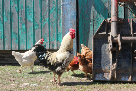 Speckled rooster walks around with chickens Stock Photo