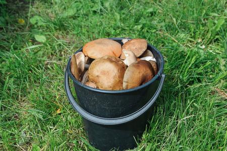 healthful: A bucket of fresh boletus - wild mushrooms Stock Photo