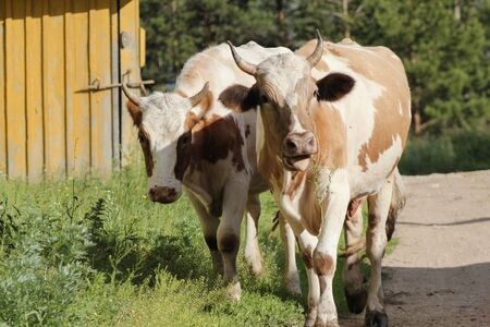 Cattle - brown caws in the village Stock Photo